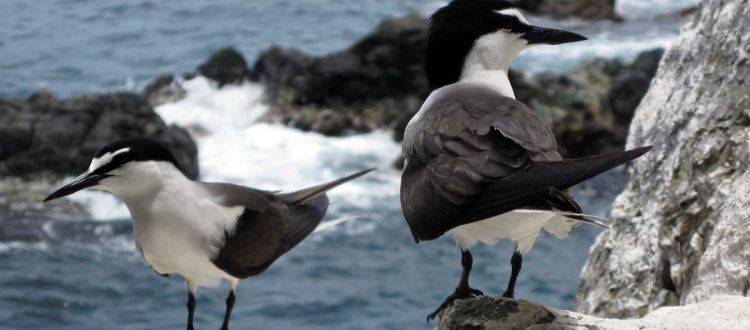 island-conservation-invasive-species-prevetning-extinctions-bridled-tern-desecheo-island