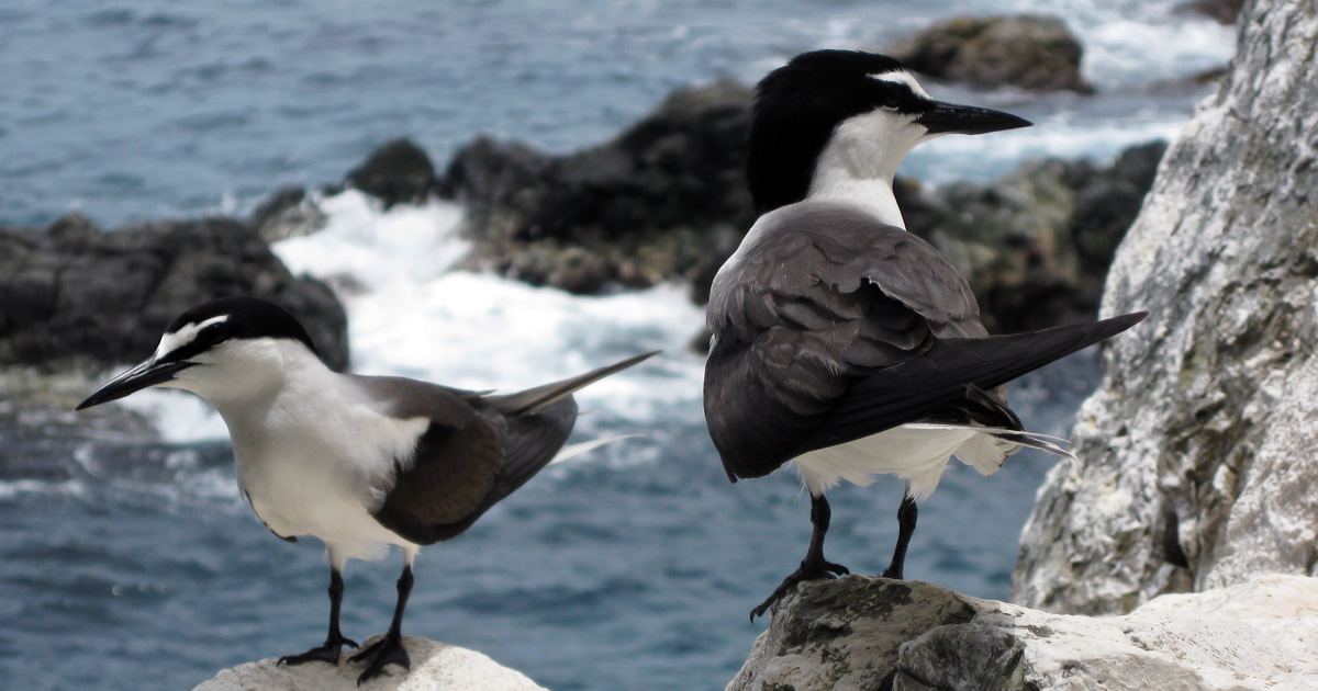 island-conservation-invasive-species-prevetning-extinctions-bridled-tern-desecheo-island