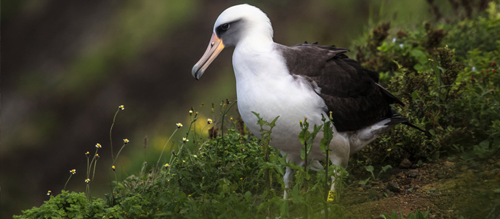 island-conservation-invasive-species-preventing-extinction-world-albatross-day-laysan-albatross-feat