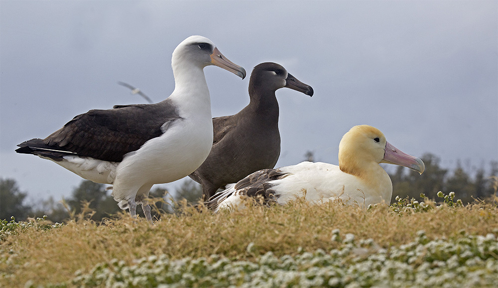 island-conservation-invasive-species-preventing-extinctions-albatross-species-midway-atoll