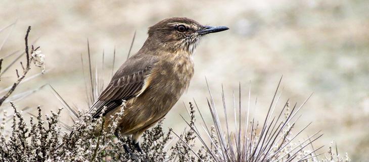 island-conservation-invasive-species-preventing-extinctions-gene-drive-New-York-Times-magazine-great-shrike-bird-feat