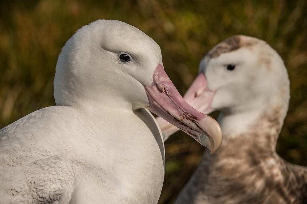 island-conservation-invasive-species-preventing-extinctions-tristan-albatross-gough-island