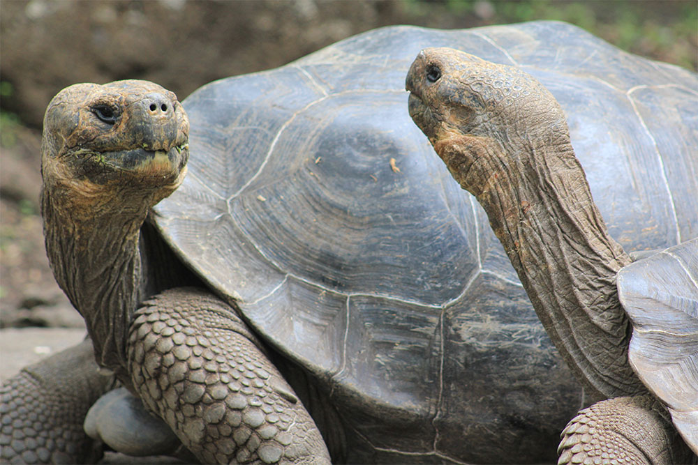 island-conservation-invasive-species-preventing-extinctions-Galapagos-giant-tortoise