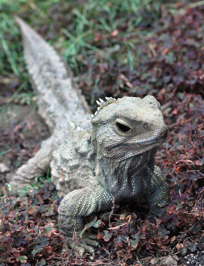 island-conservation-invasive-species-preventing-extinctions-New-Zealand-tutara