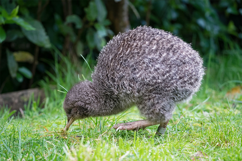 island-conservation-invasive-species-preventing-extinctions-little-spotted-kiwi