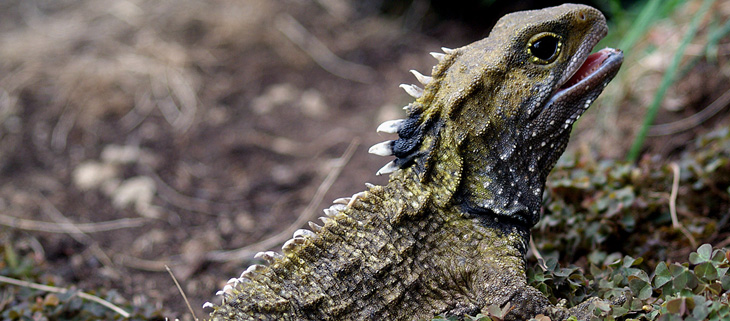 island-conservation-preventing-extinctions-invasive-species-new-zealand-tuatara-feat