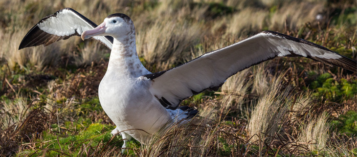 island-conservation-invasive-species-preventing-extinction-antipodean-albatross-gps-longline-fishing-threat-feat