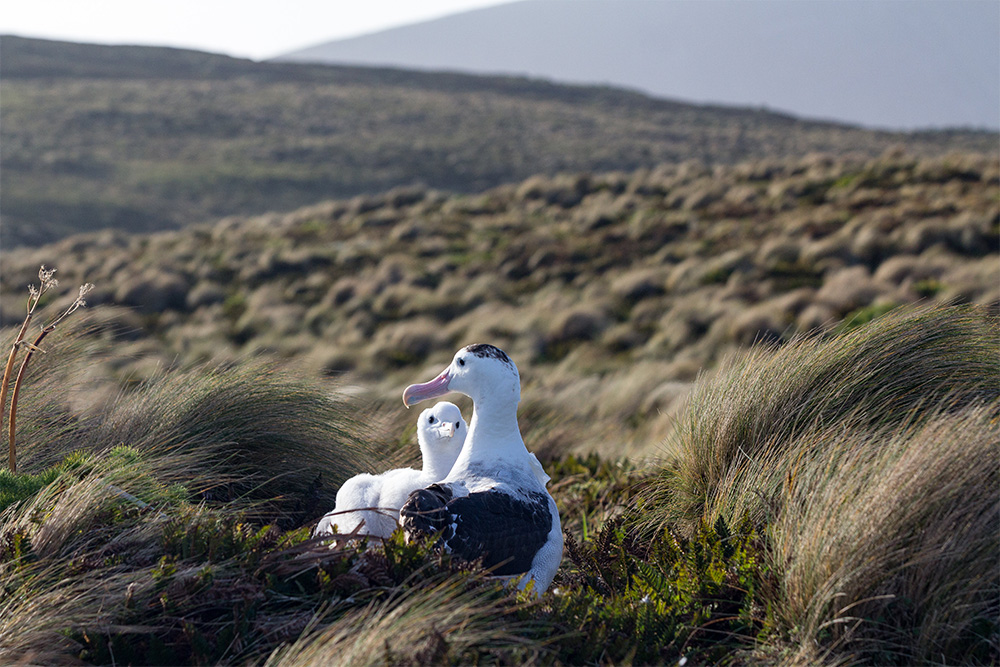 island-conservation-invasive-species-preventing-extinction-antipodean-albatross-nest-adult-chick-antipodes-island