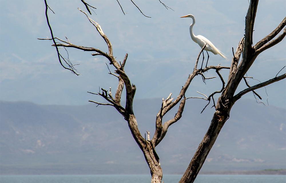 island-conservation-invasive-species-preventing-extinctions-migratory-bird-great-egret-cabritos-island