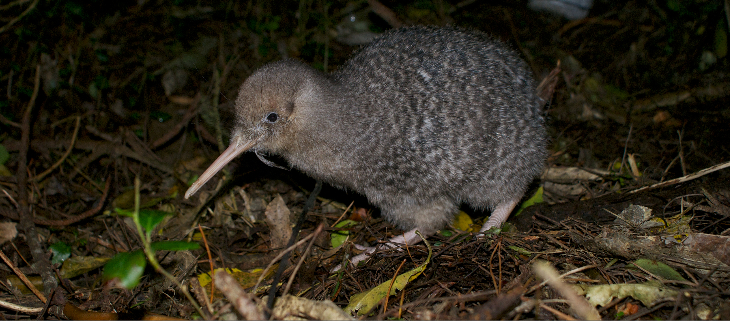island-conservation-invasive-species-preventing-extinctions-new-zealand-kiwi-biodiversity-loss-feat