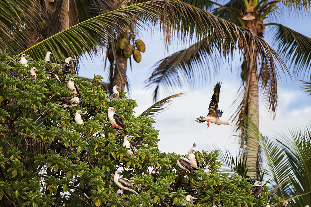 island-conservation-invasive-species-preventing-extinctions-andrew-wright-palmyra-atoll-red-footed-booby-pisonia-tree