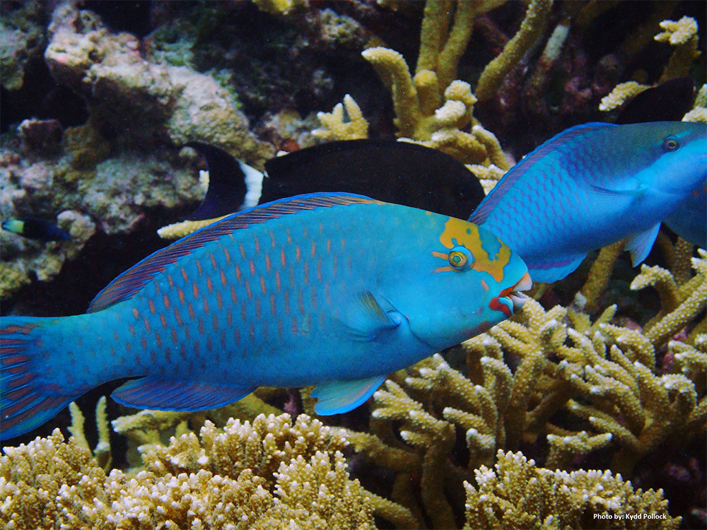 island-conservation-invasive-species-preventing-extinctions-marine-conservation-coral-reef-parrot-fish