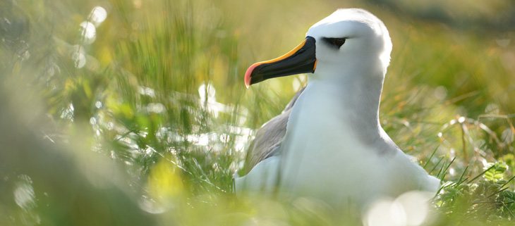 island-conservation-invasive-species-preventing-extinctions-coronavirus-threatens-wildlife-gough-yellow-nosed-albatross-feat