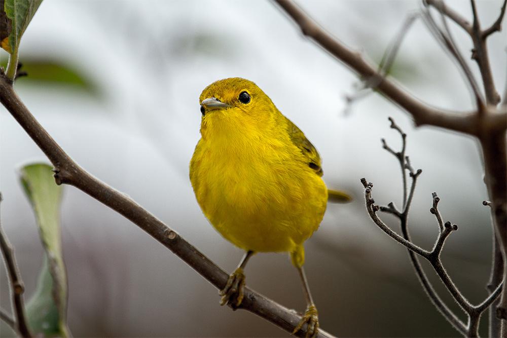 island-conservation-preventing-extinctions-invasaive-species-birding-galapagos-yellow-warbler-bird-watching