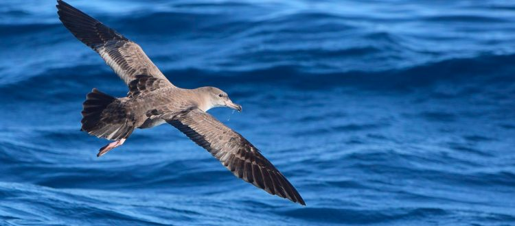 Island conservation pink-footed shearwater chile robinson crusoe