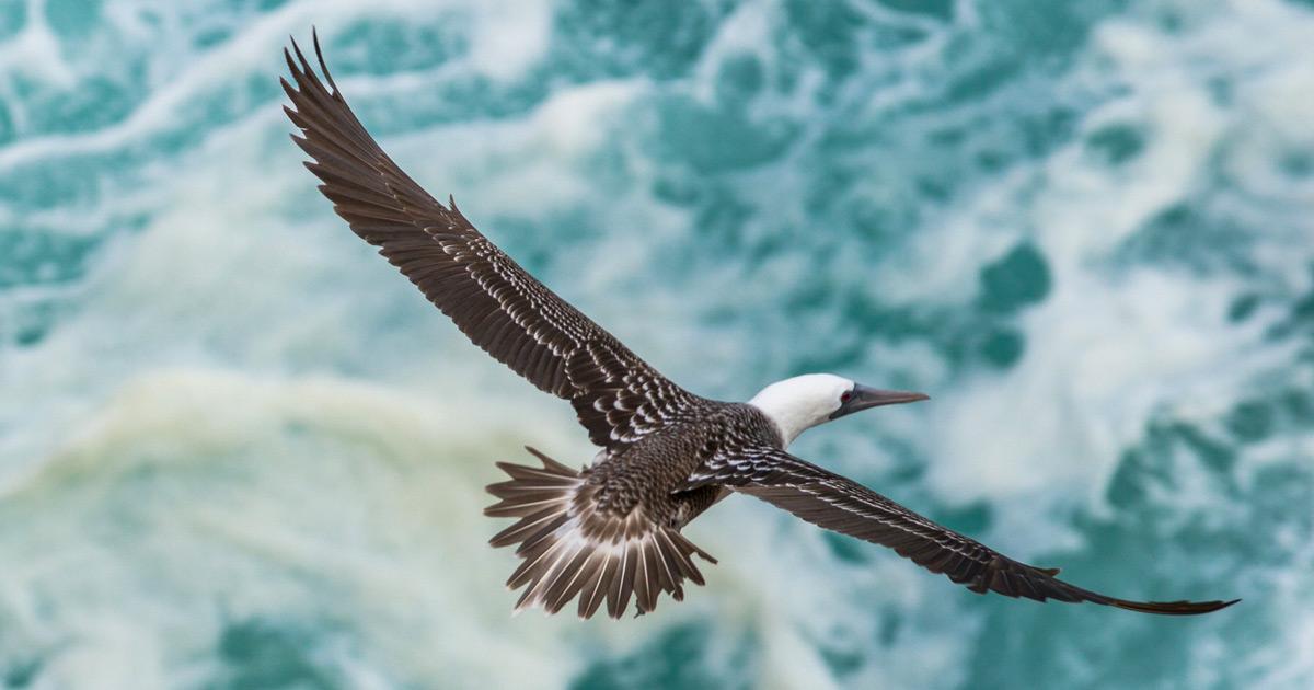 Island conservation peruvian booby pajaros uno island
