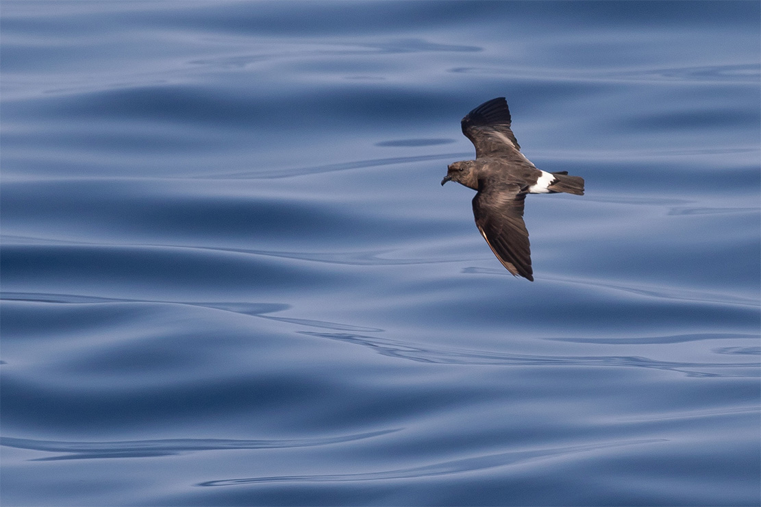 island-conservation-invasive-species-preventing-extinction-band-rumped-storm-petrel