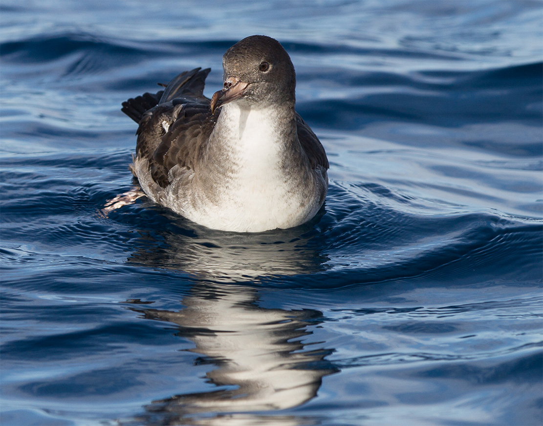island-conservation-invasive-species-preventing-extinction-pink-footed-shearwater