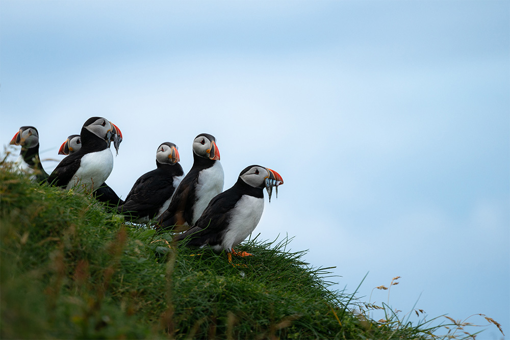 island-conservation-invasive-species-preventing-extinctions-puffins-nutrients-guano