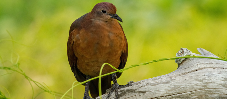 island-conservation-preventing-extinctions-invasive-species-removal-acteon-gambier-polynesian-ground-dove-living-planet-report-feat