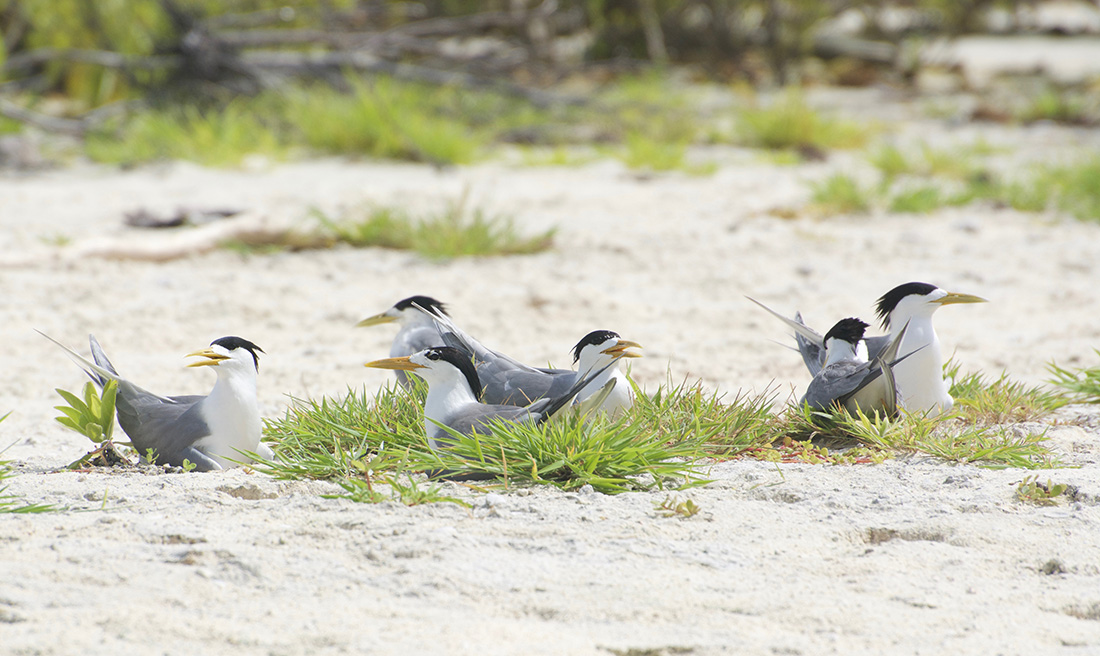 island-conservation-invasive-species-preventing-extinctions-tetiaroa-atoll-crested-tern-birds-to-reef-campaign