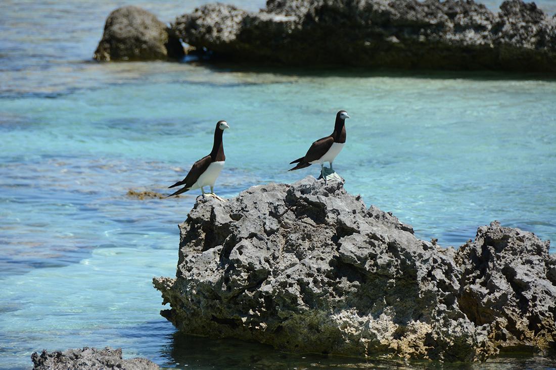 island-conservation-invasive-species-preventing-extinctions-tetiaroa-atoll-seabirds-coral-reef-nutirents